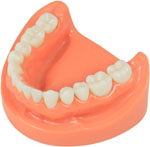 lower jaw tooth model